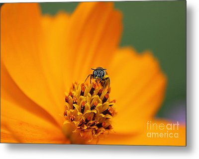 Metal Print featuring the photograph Bee On Cosmo by Lisa L Silva