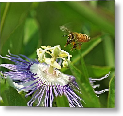 Bee On Passionflower Metal Print
