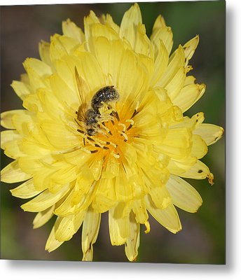 Bee On Yellow Flower Metal Print by Susan D Moody