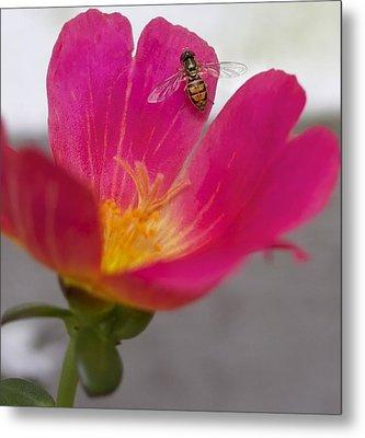 Bee Resting On A Pink Flower Metal Print by Jennifer Lamanca Kaufman