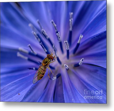 Bee - Wildflower - Chicory Metal Print
