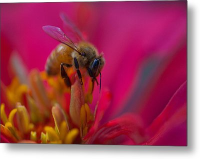 Bee Within Flower Metal Print by Sarah Crites