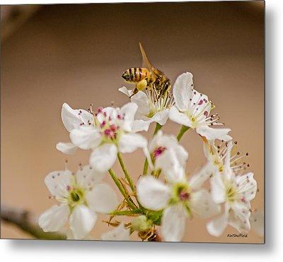 Bee Working The Bradford Pear 4 Metal Print