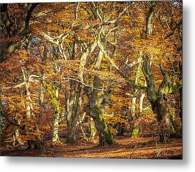 Beech Tree Group In Autumn Light Metal Print by Martin Liebermann
