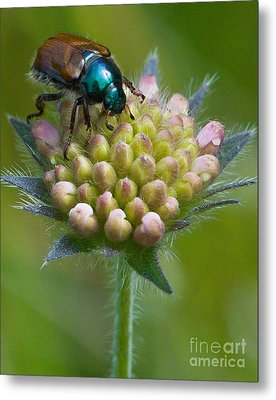 Beetle Sitting On Flower Metal Print