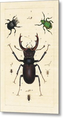Beetles Metal Print by King's College London