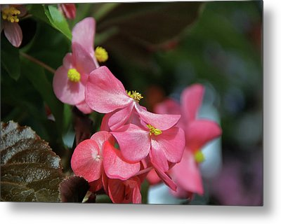Begonia Beauty Metal Print by Ed  Riche