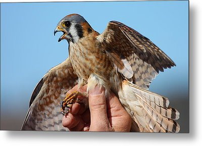 Behold The American Kestrel Metal Print