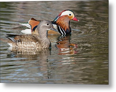 Beijing, China, Mating Pair Of Mandarin Metal Print by Alice Garland