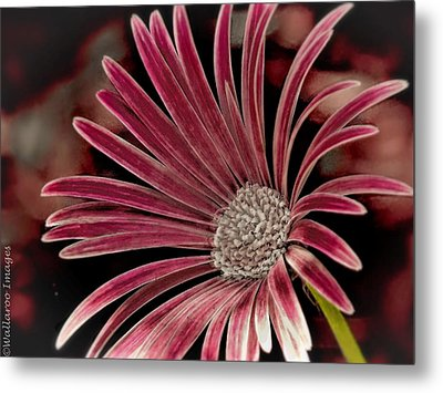 Belle Of The Ball Metal Print by Wallaroo Images