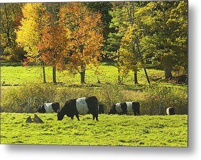 Belted Galloway Cows Grazing On Grass In Rockport Farm Fall Maine Photograph Metal Print by Keith Webber Jr