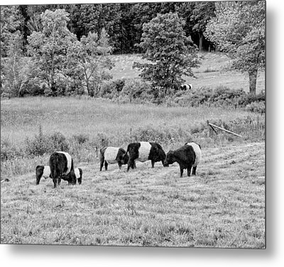 Belted Galloway Cows Rockport Maine Black Andc White Photograph Metal Print by Keith Webber Jr
