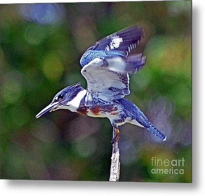 Belted Kingfisher Metal Print by Rodney Campbell