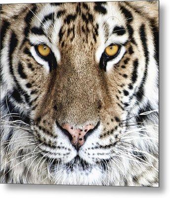 Bengal Tiger Eyes Metal Print by Tom Mc Nemar