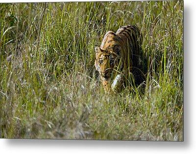 Bengal Tiger Panthera Tigris Tigris Cub Metal Print