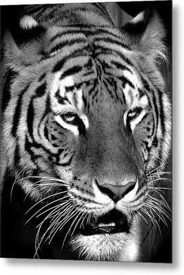 Bengal Tiger In Black And White Metal Print by Venetia Featherstone-Witty