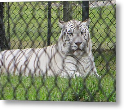 Bengal White Tiger Metal Print by Sonali Gangane