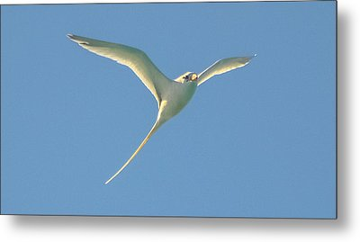 Bermuda Longtail In Flight Metal Print by Jeff at JSJ Photography