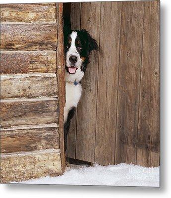Bernese Mountain Dog At Log Cabin Door Metal Print