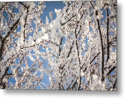 Metal Print featuring the photograph Berries With Frost by Kari Yearous