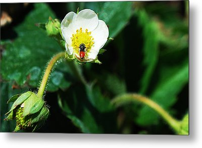 #berry Metal Print by Becky Furgason