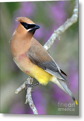 Berry Stained Waxwing Metal Print