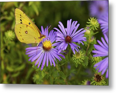 Metal Print featuring the photograph Best Friends - Sulphur Butterfly On Asters by Jane Eleanor Nicholas