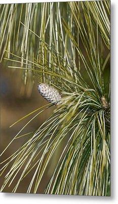 Bhutan Pine (pinus Wallichiana) Metal Print