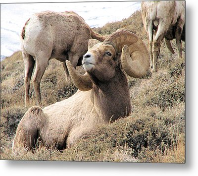 Big Bighorn Ram Metal Print