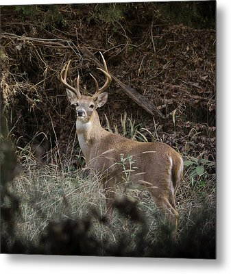 Metal Print featuring the photograph Big Buck by John Johnson
