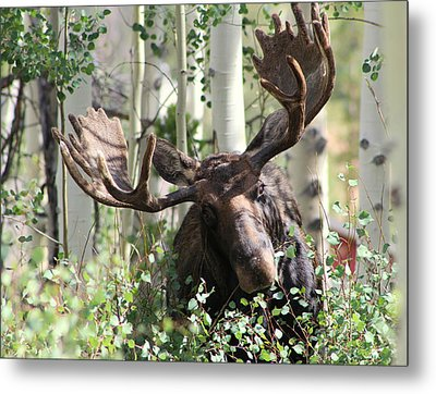 Big Daddy The Moose 3 Metal Print