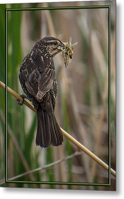 Metal Print featuring the photograph Big Dinner For Female Red Winged Blackbird II by Patti Deters