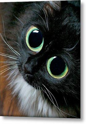 Big Eyed Cat Begging Portrait Metal Print by Berkehaus Photography