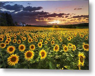 Big Field Of Sunflowers Metal Print by Debra and Dave Vanderlaan