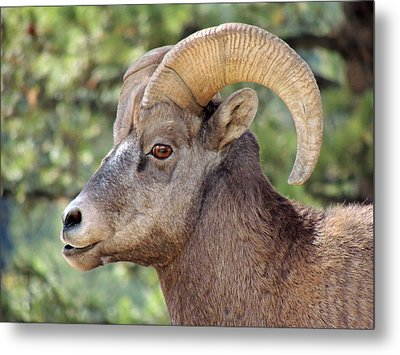 Big Horn Metal Print by Lynn Sprowl