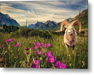 Big Horn Sheep Metal Print by Tracy Munson
