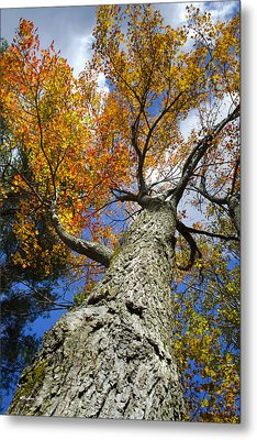Big Orange Maple Tree Metal Print by Christina Rollo