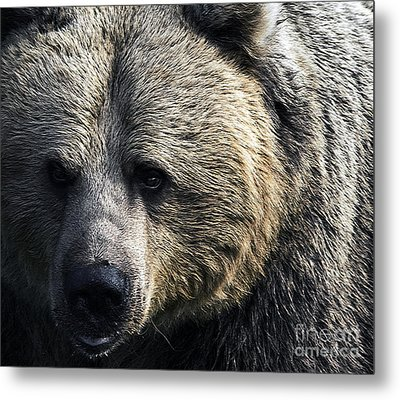 Bigger Than The Average Bear Metal Print by Rick Bransby
