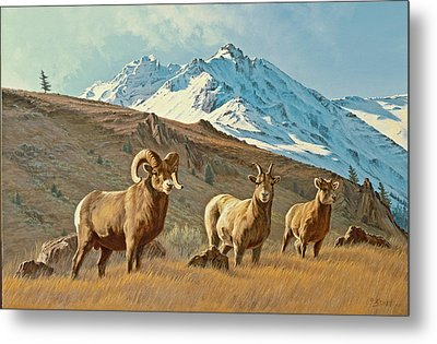 Bighorn Below Electric Peak Metal Print by Paul Krapf