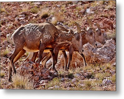 Metal Print featuring the photograph Bighorn Canyon Sheep Trio by Janice Rae Pariza