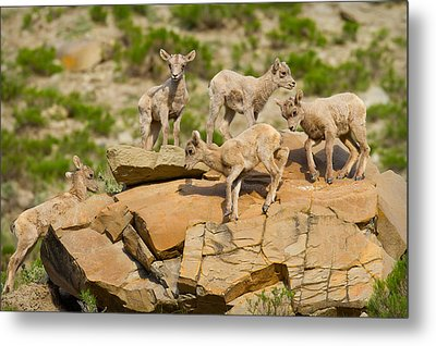 Metal Print featuring the photograph Bighorn Playground by Aaron Whittemore