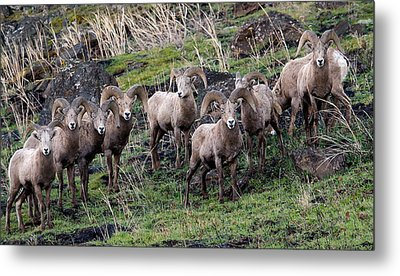 Metal Print featuring the photograph Bighorn Reunion by Steve McKinzie