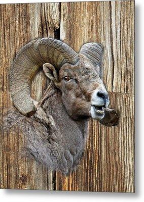 Bighorn Sheep Barnwood Metal Print by Steve McKinzie