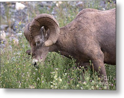 Metal Print featuring the photograph Bighorn Sheep by Chris Scroggins