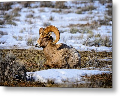 Metal Print featuring the photograph Bighorn Sheep by Greg Norrell