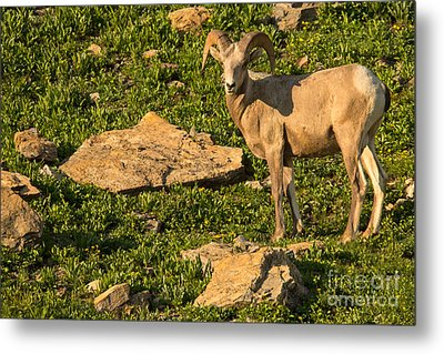 Bighorn Sheep Ram In Glacier 2 Metal Print by Natural Focal Point Photography