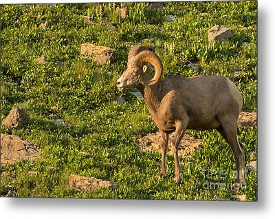 Bighorn Sheep Ram In Glacier 3 Metal Print by Natural Focal Point Photography