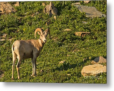 Bighorn Sheep Ram In Glacier 4 Metal Print by Natural Focal Point Photography