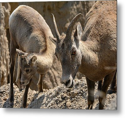 Bighorn Sheep Metal Print by Robin Williams