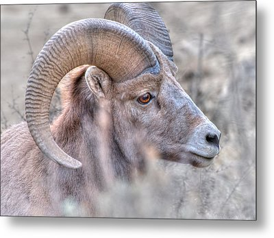 Bighorn Soft Metal Print by Britt Runyon
